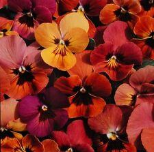 Pansy 'Amber Jewel Mixed' / Viola hybrida / 30 Seeds
