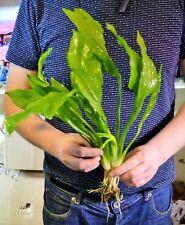 5 XL AMAZON SWORDS Echinodorus bleheri paniculatus Live Aquarium Plants