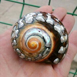 6-9.5cm Naturel Africain Turban Mer Coque Corail Conque Snail Maison Poisson +A