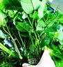 Anubias Barteri Wrinkle Leave MOTHER XXL Potted Super Size Live Aquarium Plants