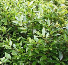 Strauchpflanzen für volles Sonnenlicht und gemäßigtes Klima