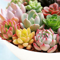 "4 Assorted Rosette Succulents Bonsai For Terrariums Mini Garden in 2"" Planter"
