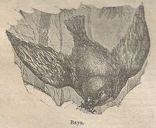 A0853 Baya - Stampa Antica del 1911 - Xilografia