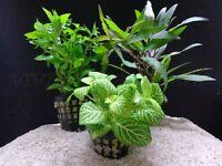 PLANTA PARA ACUARIO; LOTE DE 20 PLANTAS POR 25€ NOVIEMBRE