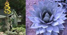 Blaue Agave Parryi - Die schönste Garten-Agave der Welt