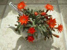 Echinopsis chamaecereus-flowers are orange/red plant for sale is a single stem