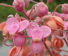 Pink Shower Tree 10 seeds Tropical Plant Coral Blooms Cassia Grandis