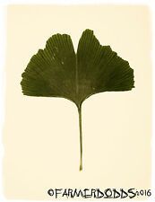 "Ginkgo biloba ""Maidenhair tree"" [province: limousin, france] 6 graines"