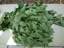 Guatemalan HIERBA MORA, Vegetable, Quelite, Macuy, Quilete, Mora, 100 + SEEDS