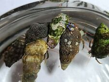 12+3 Mixed Red-Legged and Blue-Legged Hermit Crabs