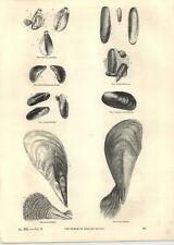 1854 Engravings Pinna Flabellum