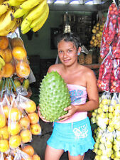 REAL!!! SOURSOP GIANT Graviola Guanabana Annona muricata 10 seed rare fresh