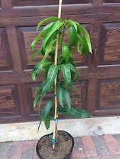 Nam Doc Mai Mango Tree dwarf condo live plant grafted FREE SHIPPING