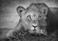 A1 Black & White Lion Cub Poster Art Print 60 x 90cm 180gsm Cool Fun Gift #15002