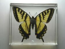 EASTERN TIGER SWALLOWTAIL BUTTERFLY. Real butterfly casting resin encapsulation