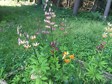 Martagon Lilium assorted 50 seeds NEW! 2019 harvest