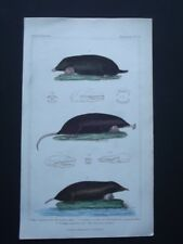 THE MOLE & CANADIAN SCALOPS, ORIGINAL 1837 HAND COLORED COPPER PLATE ENGRAVING