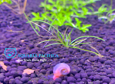 6+2 Pink Ramshorn Snails, Aquarium/Pond Algae Cleaners,Live Arrival Guarantee