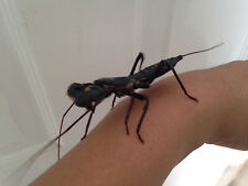 Vinegaroon (small) REAL live insect praying mantis alternative