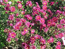 Glattblattaster Aster novi-belgii Royal Ruby Herbstblüher