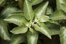 20 Seeds Withania somnifera Indian Ginseng Ashwaganda