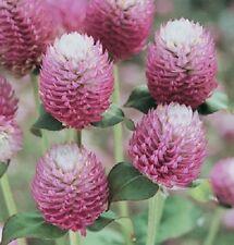 40+ BI-COLOR ROSE GOMPHRENA FLOWER SEEDS / ANNUAL