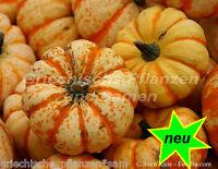 🔥  STRIPED SWEET DUMPLING Kürbis 6 Samen SEHR SELTEN süß lecker Speise-Kürbis