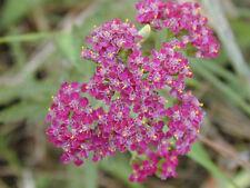 """Millefoglie rossa Achillea millefolium RUB. 200 semi """"tutto solo 1 EURO"""""""