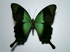 Real Butterfly/Moth/Insect Set/Spread B4764 Papilio peranthus Green/Blue 8 cm