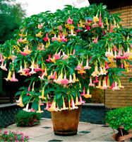 200Pcs Brugmansia Datura Flower Seeds Rare 8 Kind Potted Plant Decor For Garden