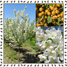 Malus Harvest Gold variety, Crab Apple tree (10+ viable seeds per package)