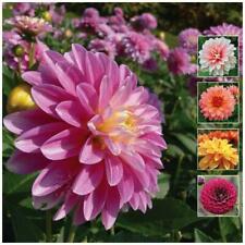 DAHLIA Unwins Brightest x50 Seeds. Bright colours mix. Premium variety