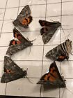 Lot of 6 Catocala meskei Meske's Underwing Moths in excellent condition