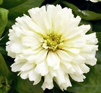 50 Semillas de Zinnia Elegans Blanca  (Youth and old age)