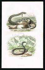 1847 Viper Snake praying on Rabbit, Reptiles, Hand-Colored Antique Print, Buffon