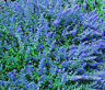 CATMINT BLUE Nepeta Mussinii - 2,500 Bulk Seeds