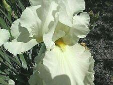 White Iris bulb rhizome flag tall with yellow beard. Blooms in may.