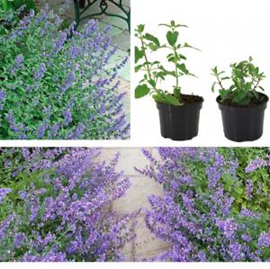 Katzenminze Nepeta cataria Katzenmelisse Katzenkraut Nepeta Pflanze Topf Gartenp