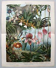 Orchideen Chromolithographie 1896 alte historische Grafik
