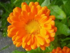 18 Semillas - Calendula officinalis - Aromática - Medicinal - Semi - Samen