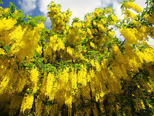 Golden Chain tree, Laburnum anagyroides, hardy flowering tree, starter plant