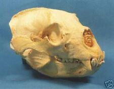 real bear skull | eBay
