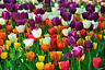 Tulip Flower Bulbs-Spectacular Rainbow Mix-All Colors(Pack of 10) Zones: 3-8