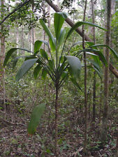 Cordyline petiolaris Broad Leaved Palm 10 seeds