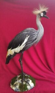Taxidermy H.E.R.0.N. Excellent Composition!!!