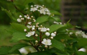 Glanzmispel Photinia villosa Pflanze 25-30cm Scharlach-Glanzblattmispel Rarität