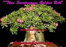 """ADENIUM DESERT ROSE THAI SOCOTRANUM """" GOLDEN BELL """" 50 Seeds FRESH NEW RARE"""