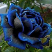 40X Blühen Mitternacht Rose Samen Blau Schwarz Busch Blumen Seltene Hervorragend