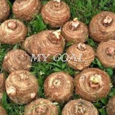 1Pcs LIVE Colocasia Esculenta Elepant Ear Taro Gabi Kalo Eddo Bulbs Garden Plant