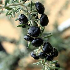 200 pcs Black Goji Berry Black Wolfberry (Lycium ruthenicum) seeds